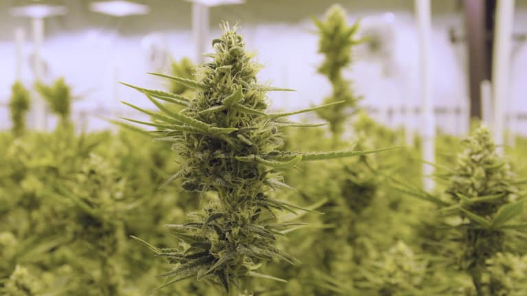 Colorados Marijuana Industry Must Follow Worker Safety Rules