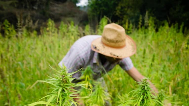 Cal/OSHA Declines to Create Marijuana-Specific Safety Regulations