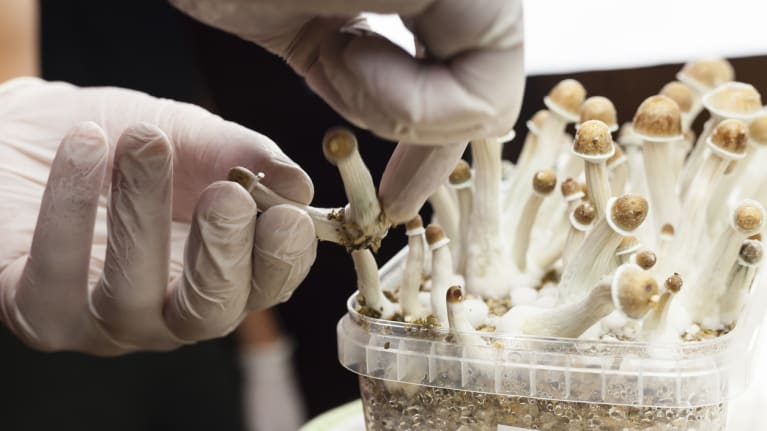 Growing psylocybin mushrooms
