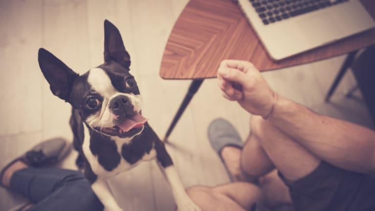 dog begging while man works on computer