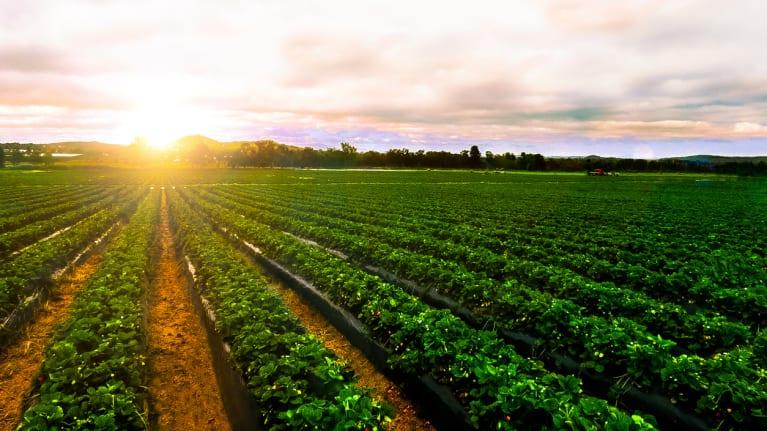Sunrise over strawberry farm