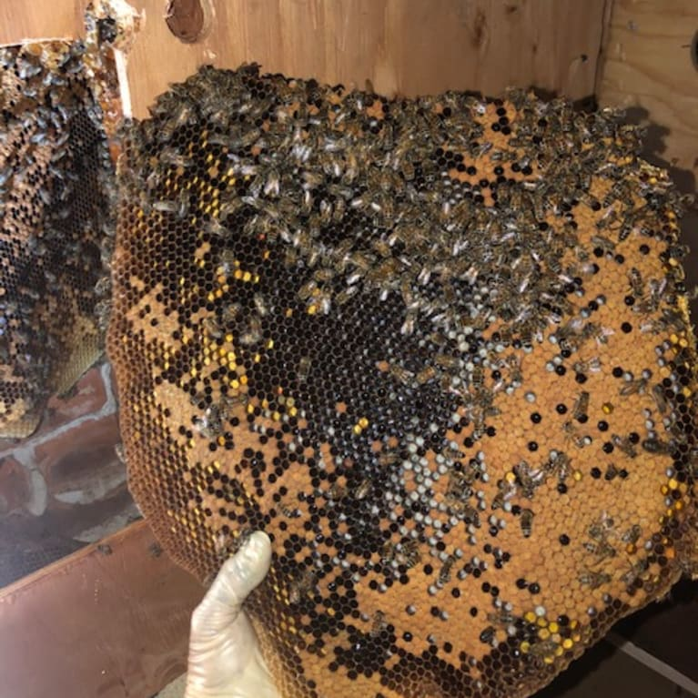 A beehive extracted from within the walls of Invoca. Photo: Super Bee Rescue and Removal
